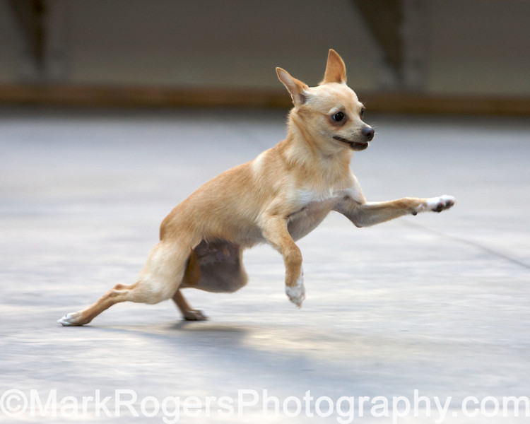 Topper the chihuahua running