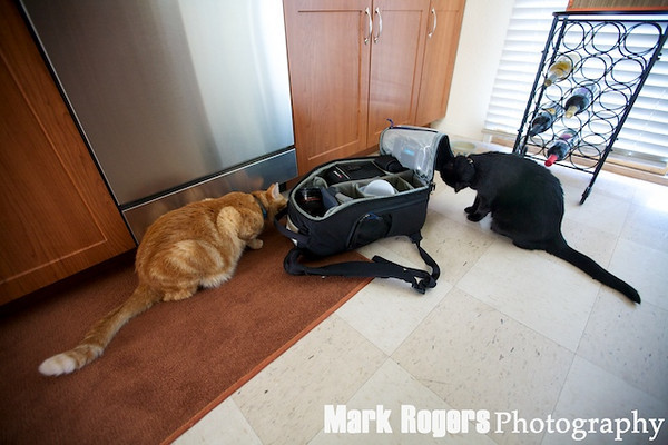 Orange Tabby cat and black cat sniffing bag