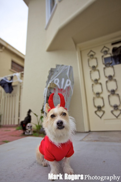 terrier in devil suit with coffin