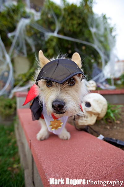 terrier mix in vampire costume