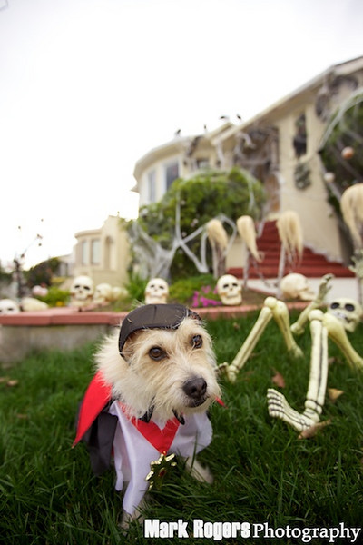 Terrier in dracula costume
