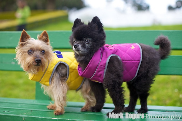 yorkie and pomeranian in waghearted harnesses