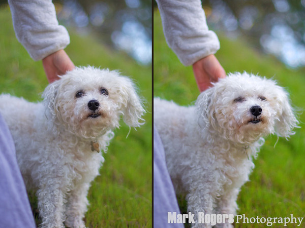 white dog petted by owner