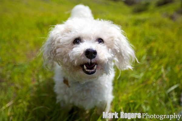 Small maltese poodle mix