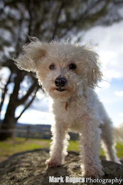 maltese poodle mix on top of rock