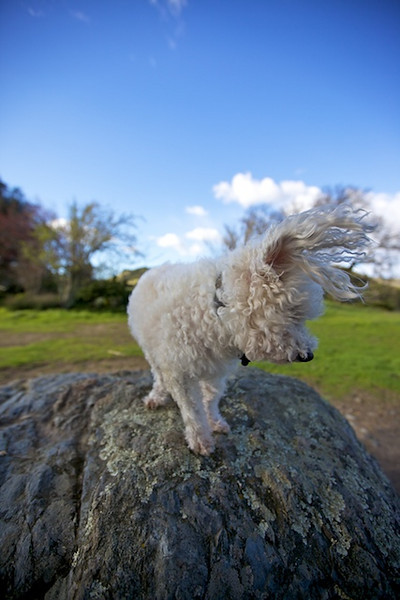 white dog with ears flapping