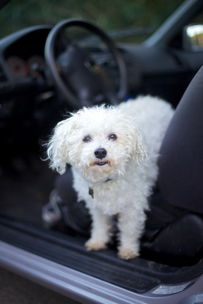 small white dog in drivers seat