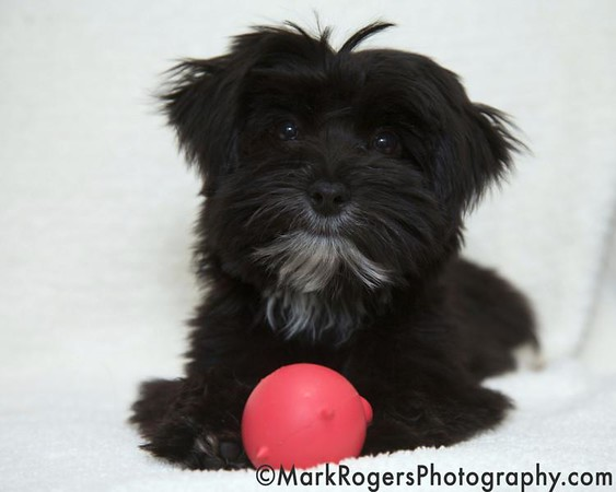 Lexington, the Maltese Yorkie Mix