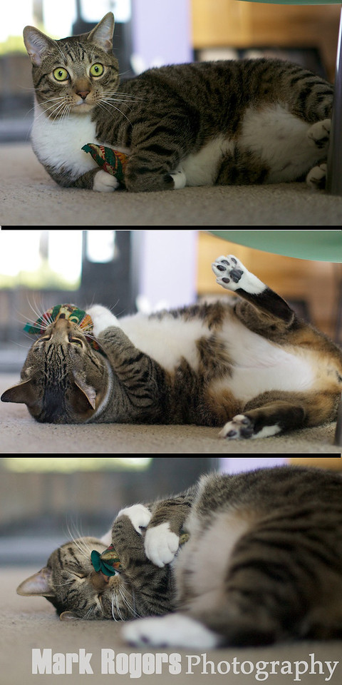 tabby cat with toy sequence