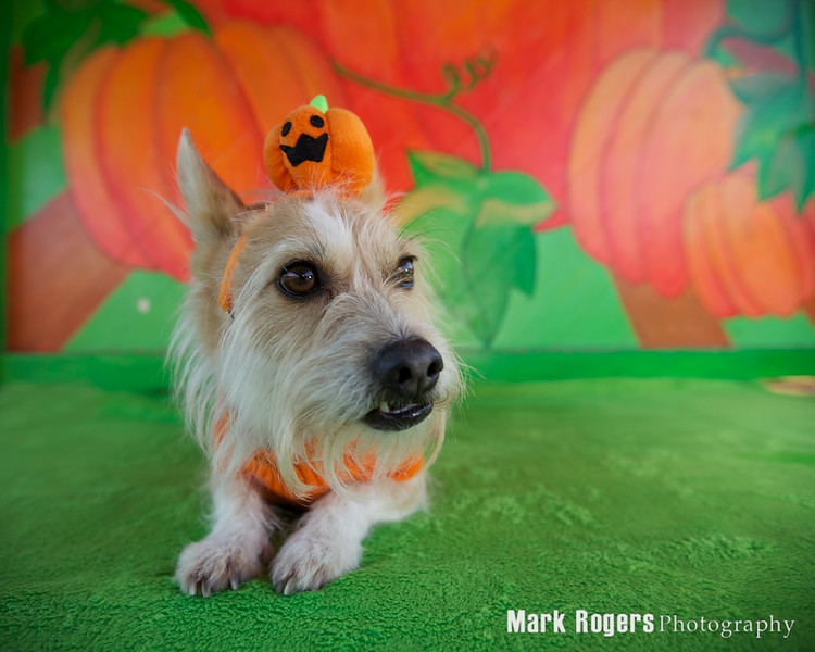 Terrier as a pumpkin