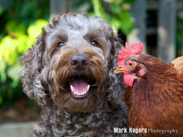 Labradoodle and chicken